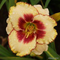 daylily 'Avietės Smėlyje'