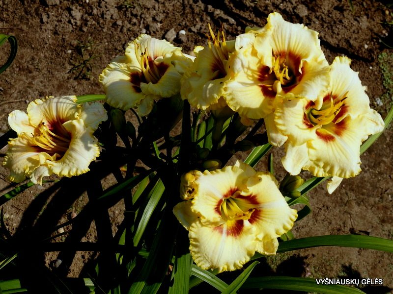 daylily 'Barbara Keen Strout' (2)