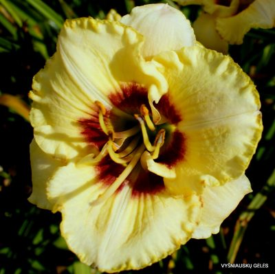 daylily 'Barbara Keen Strout'