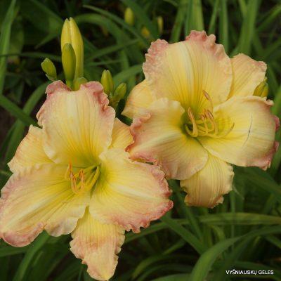 daylily 'Beautiful Edgings'