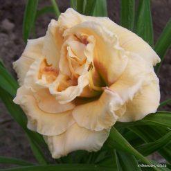 daylily 'Bebop' (3)