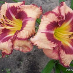 daylily 'Believe in Miracles' (2)
