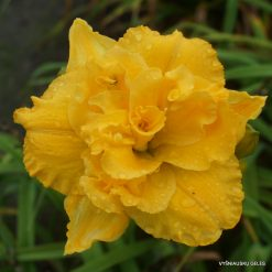 daylily 'Betty Woods'