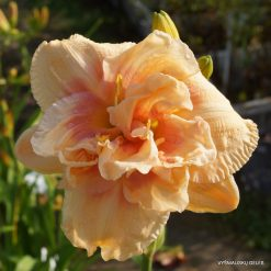 daylily 'Big Kiss' (3)