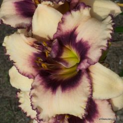 daylily 'Blueberry Sundae'