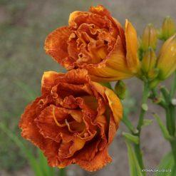 daylily 'Bobo Anne' (2)