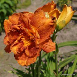 daylily 'Bobo Anne' (3)