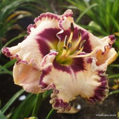 daylily 'Born to be Wild'