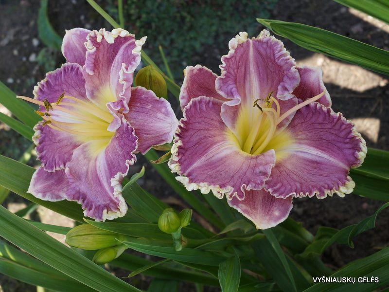 daylily 'Bridgeton Goodness' (2)