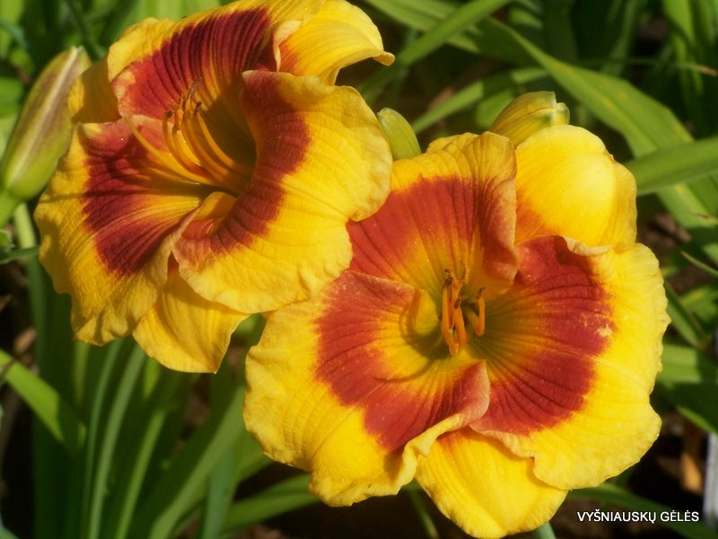 daylily 'Brookwood Lee Causey' (2)