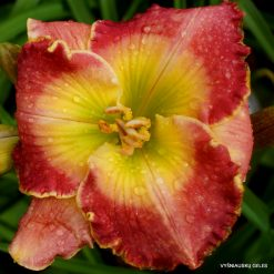 daylily 'Browns Ferry Queen of Hearts'