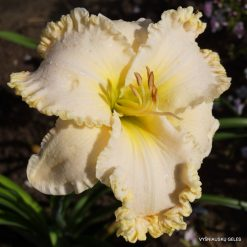 daylily 'Browns Ferry Royalty' (3)