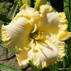 daylily 'Buddy's Blondy'