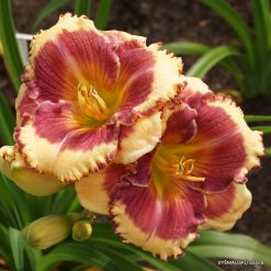 daylily 'Calling All Angels'