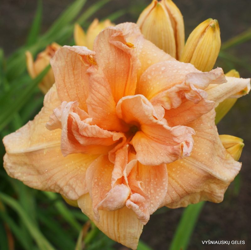 daylily 'Carolina Coastal Breeze' (2)