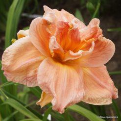 daylily 'Carolina Coastal Breeze'