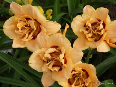daylily 'Chain Reaction' (2)