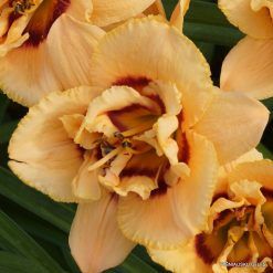 daylily 'Chain Reaction'