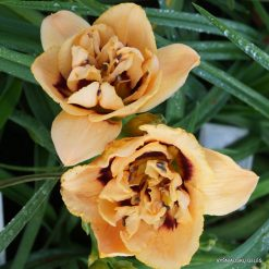 daylily 'Chain Reaction' (4)