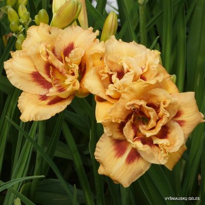 daylily 'Chestnut Eyes'