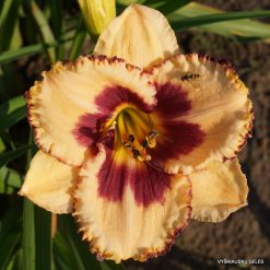 daylily 'Chief of Staff'