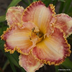 daylily 'Competitive Edge'