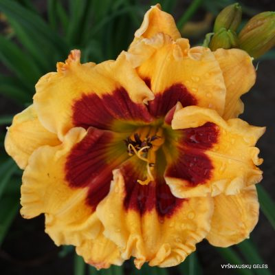 daylily 'Connie Can't Have It' (2)