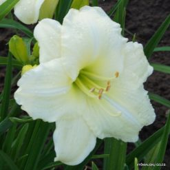 daylily 'Cool It'