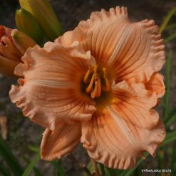 daylily 'Coral Masterpiece'