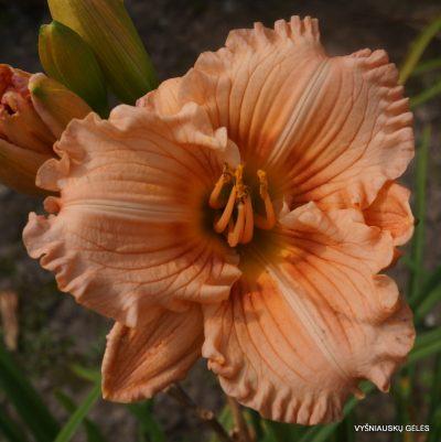 daylily 'Coral Masterpiece'