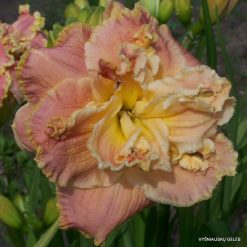 daylily 'Coronation Dream'