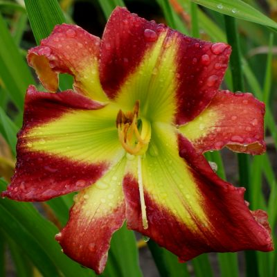 daylily 'Crimson And Clover'
