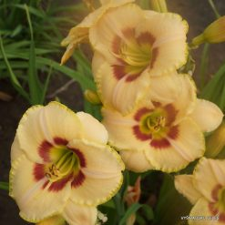 daylily 'Custard Candy'