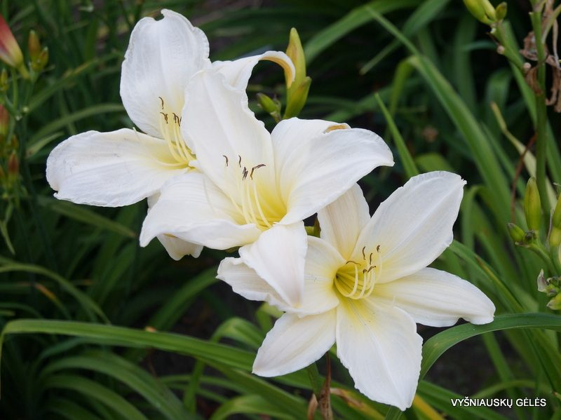 daylily 'Dad's Best White'