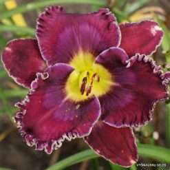 daylily 'Desire of Nations'