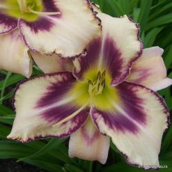 daylily 'Destined to See' (2)