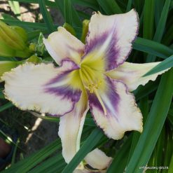 daylily 'Destined to See' (3)