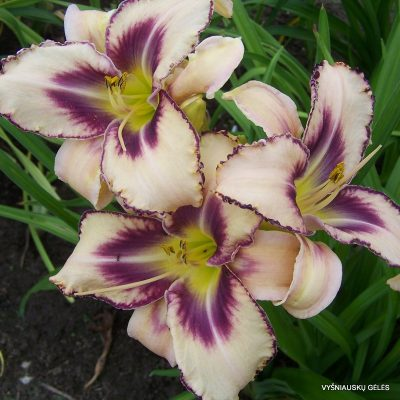 daylily 'Destined to See'