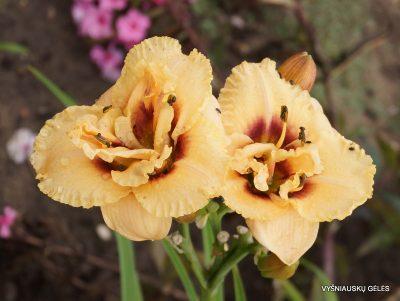 daylily 'Dewy Sweet' (2)