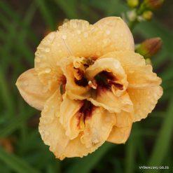 daylily 'Dewy Sweet' (3)