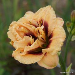 daylily 'Dewy Sweet' (4)