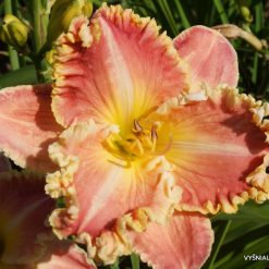 daylily 'Diana's Evening Gown' (3)