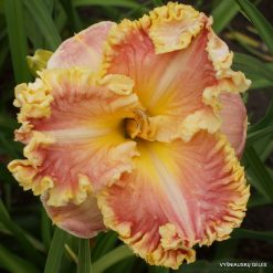 daylily 'Diana's Evening Gown'