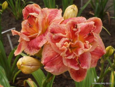daylily 'Dorothy and Toto' (2)