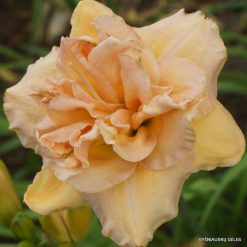 daylily 'Double Angels'