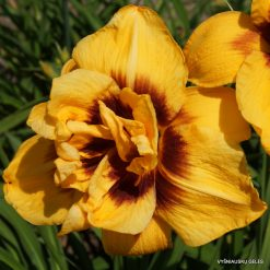 daylily 'Double Bold One'