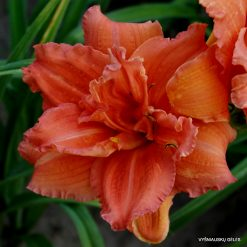 daylily 'Double Dribble'