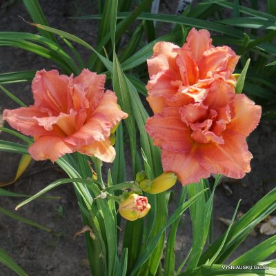 daylily 'Double Dribble' (2)