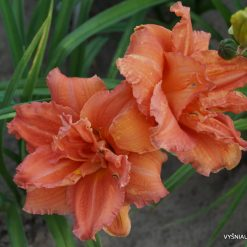 daylily 'Double Dribble' (3)