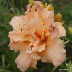 daylily 'Double Whirlwind'